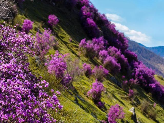 Весенний тур по цветущему Алтаю